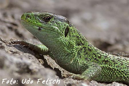 2.Platz Reptilien: Udo Fetsch - Zauneidechse