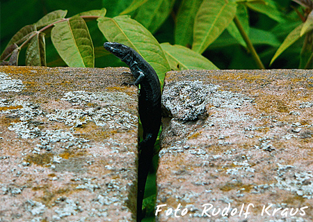Zusatzpreis Reptilien: Rudolf Kraus - schwarze Mauereidechse