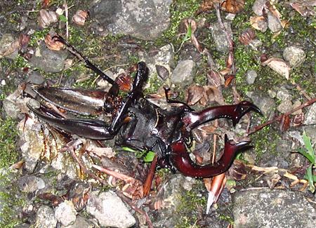 Totes Männchen auf dem Rücken (Foto: Dr. Detlef Mader)