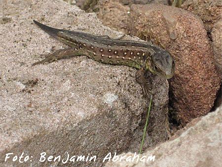 Kinderpreis Reptilien: Benjamin Abraham - Zauneidechse