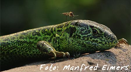 1.Platz Reptilien: Manfred Eimers - Zauneidechse mit Mücke