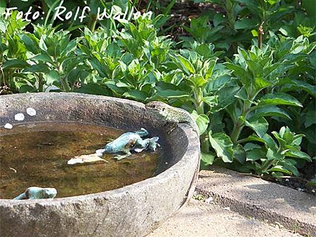 Trostpreis Reptilien: Rolf Wallon - Zauneidechse
