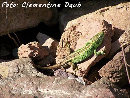 Kinderpreis Reptilien: Clementine Daub - Zauneidechse