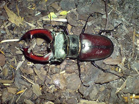 Männchen mit roten Mandibeln (Foto: Dr. Detlef Mader)