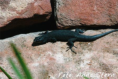 Zusatzpreis Reptilien: Anna Stern - schwarze Mauereidechse