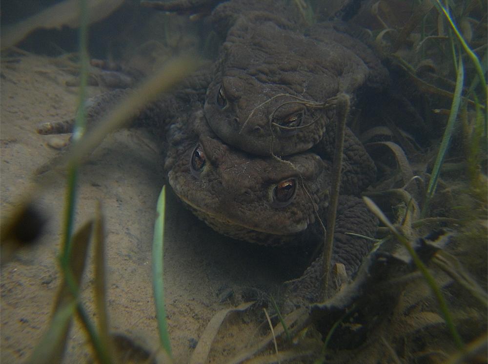 Erdkröten im Teich (Dossenheim, Foto: Sandra Panienka)