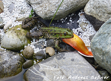 2.Platz Amphibien: Andreas Goßner - Wasserfrosch frisst Goldfisch
