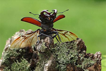 Männchen vor dem Flug (Foto: Dr. Detlef Mader)
