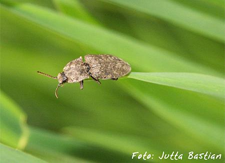 Mausgrauer Sandschnellkäfer (agrypnus murinus, Foto: Jutta Bastian)