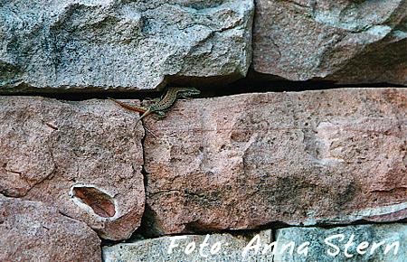 Zusatzpreis Reptilien: Anna Stern - doppelschwänzige Mauereidechse