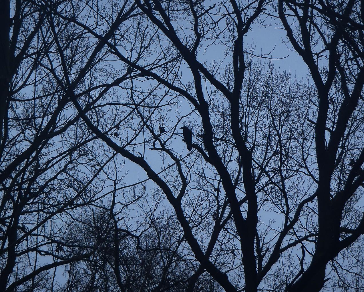 selten geworden in Berlin: Die Rabenkrähe