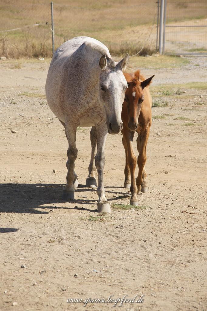 Furiosa LI mit Stutfohlen Libélula de Garrocha im Alter von sechs Wochen