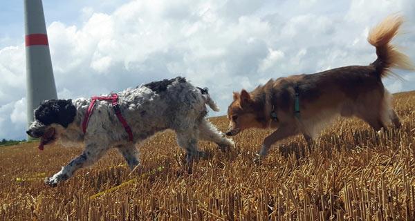 ... tapst hinter Hundeomi Pupa (17 Jahre) her ... vielleicht weiß sie ja, wo er (s)ein Zuhause findet ...