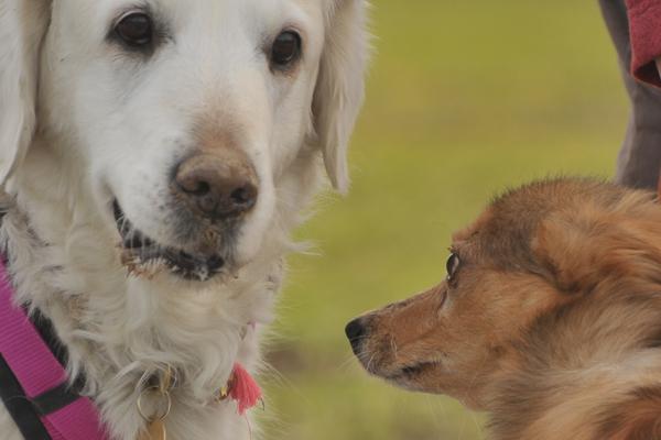 Golden Retriever-Hündin Abby und Ruben ... die Blicke beider Hunde sind der Hammer :)