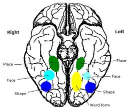 Cervello umano visto dal basso. Si può notare l'area fusiforme facciale mostrata in blu. (Fonte Wikipedia)