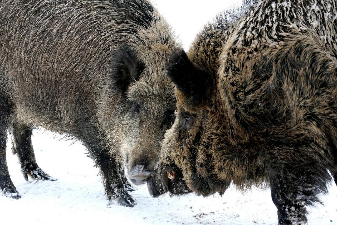 Wildschweinegehege auch im Gehege Lusen