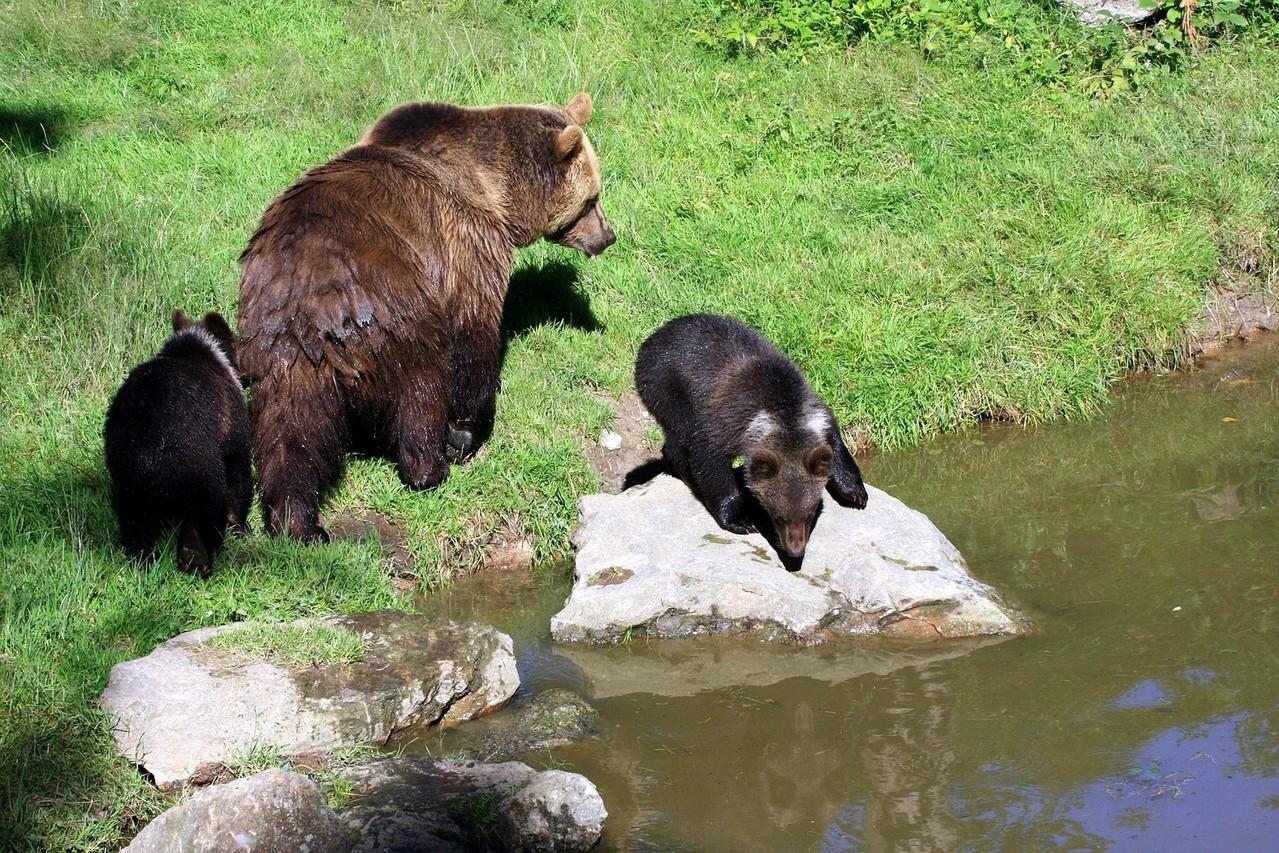 Bärenmama mit Jungen