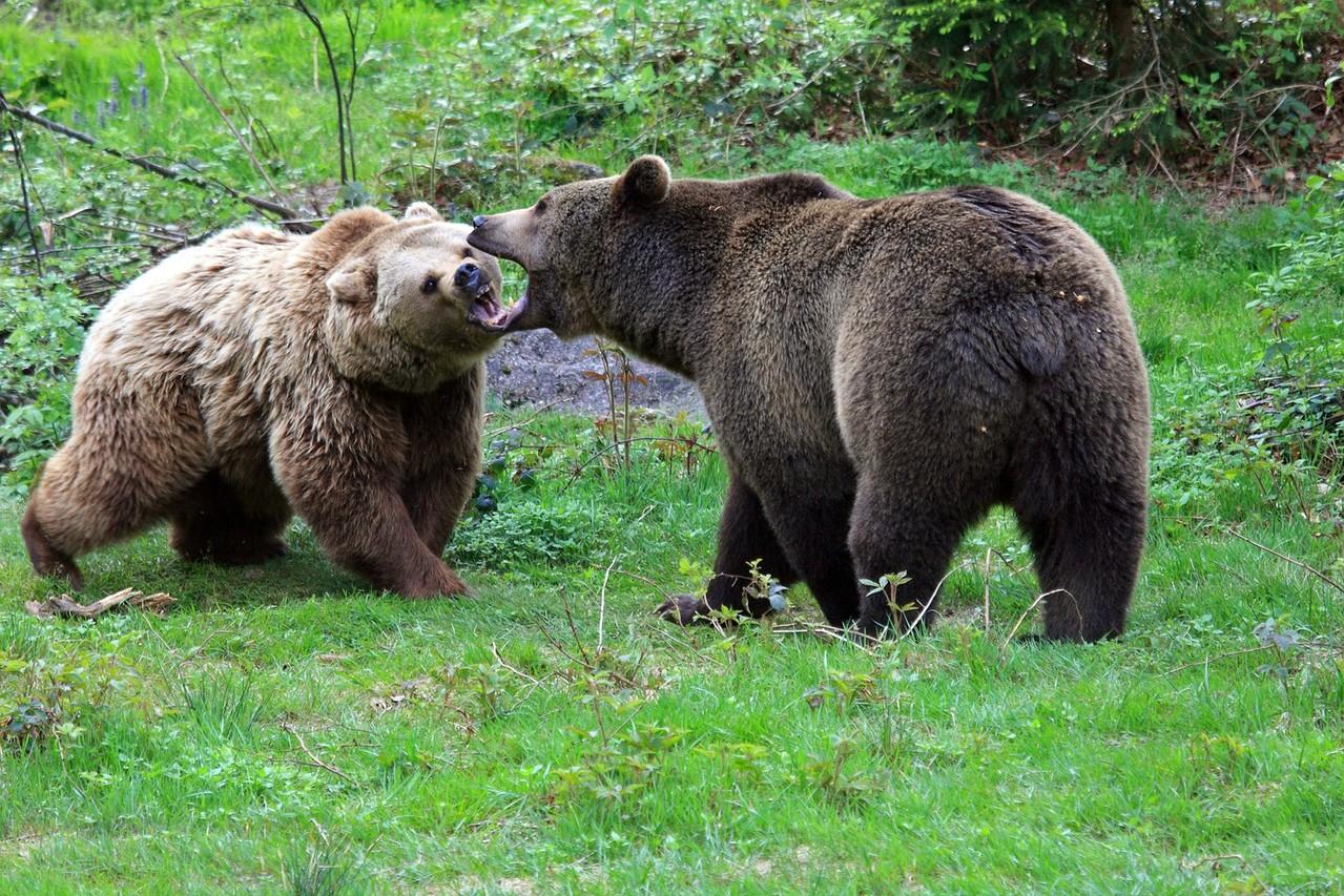 Bären im Nationalparkzentrum Lusen