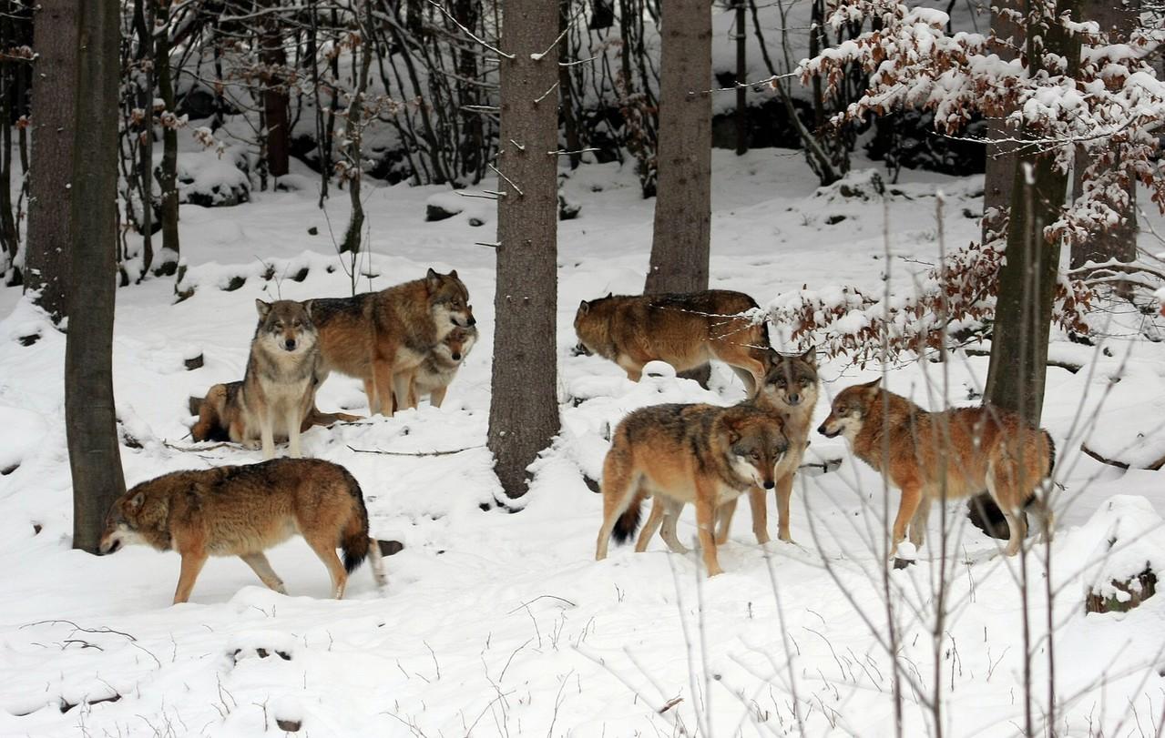 Wolfsrudel im Nationalparkzentrum Falkenstein