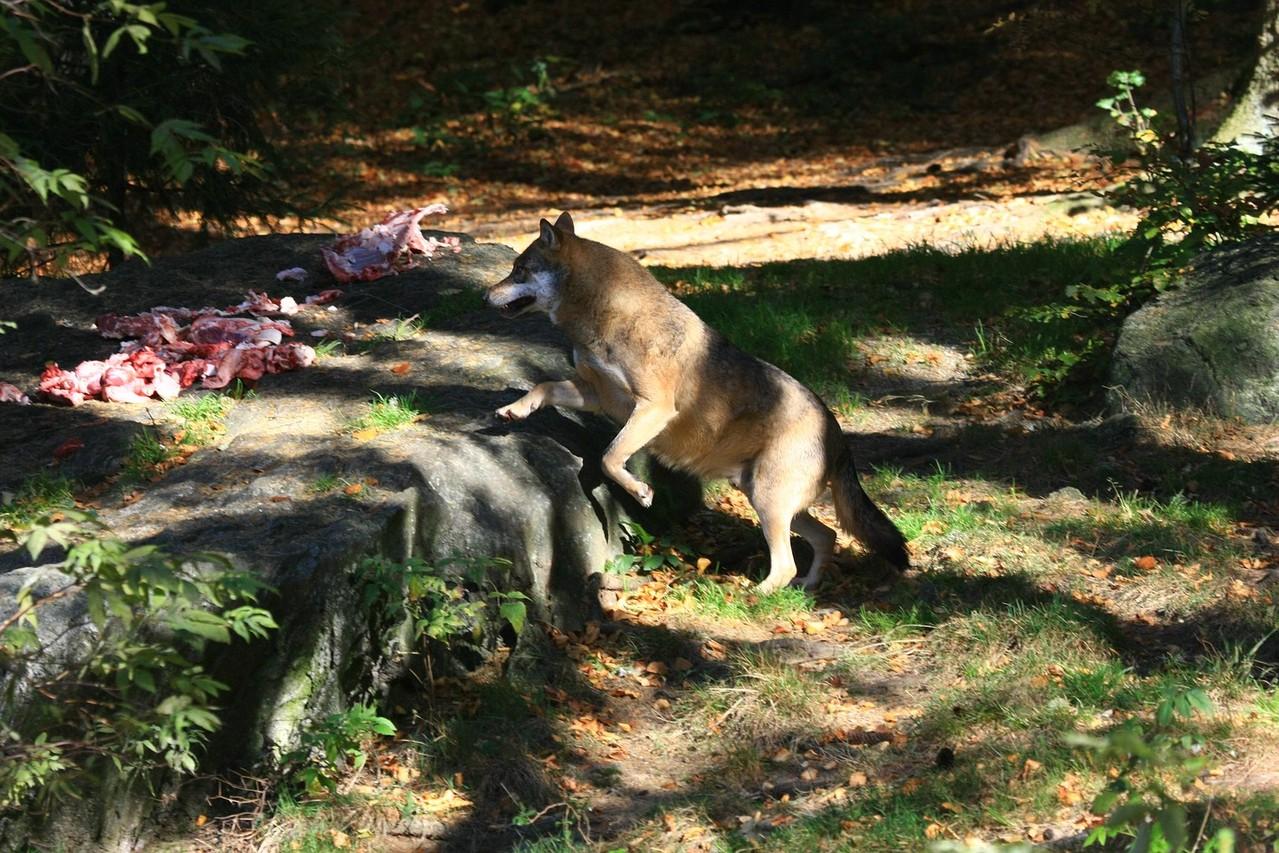 Wolfsfütterung im Nationalparkzentrum Lusen