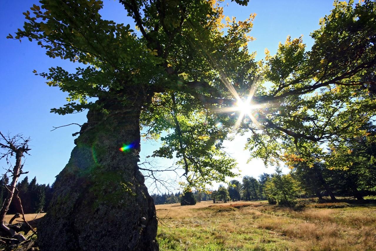 Mächtiger Schachtenbaum