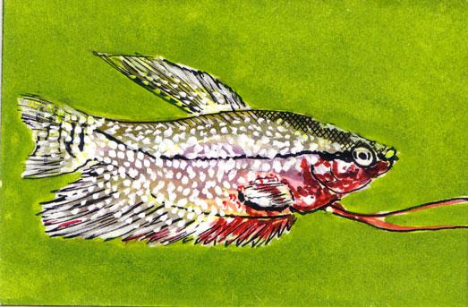 Trichogaster-Maennchen