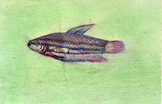 Beta-splendesns-Weibchen