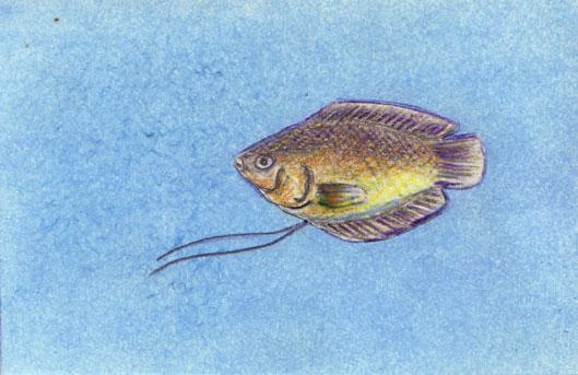 Colisa-lalia-Weibchen