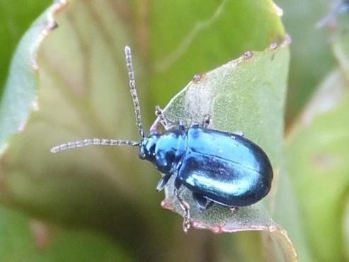 Altica beetle