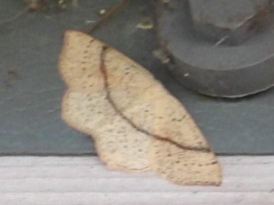 Maiden's blush moth Cyclophora punctaria