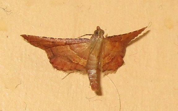 Micro-moth Endotricha flammealis