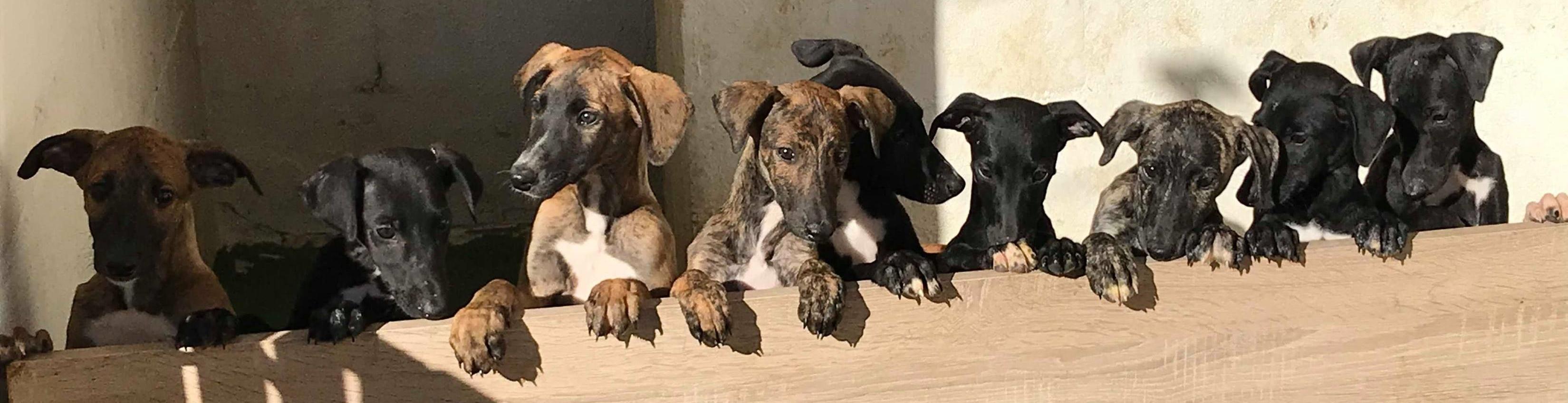 Nos Chiots A L Adoption Sauvetage Adoption De Levriers Galgos Podenco Espagnols
