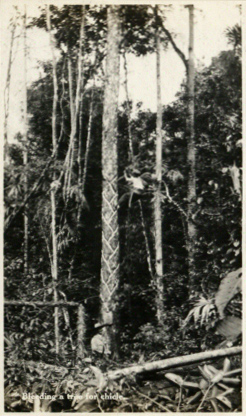 Belize (1917) - een chiclero laat een boom bloeden om chicle te winnen.