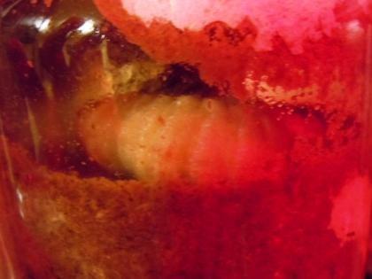 蛹化 幼虫がしわしわになります