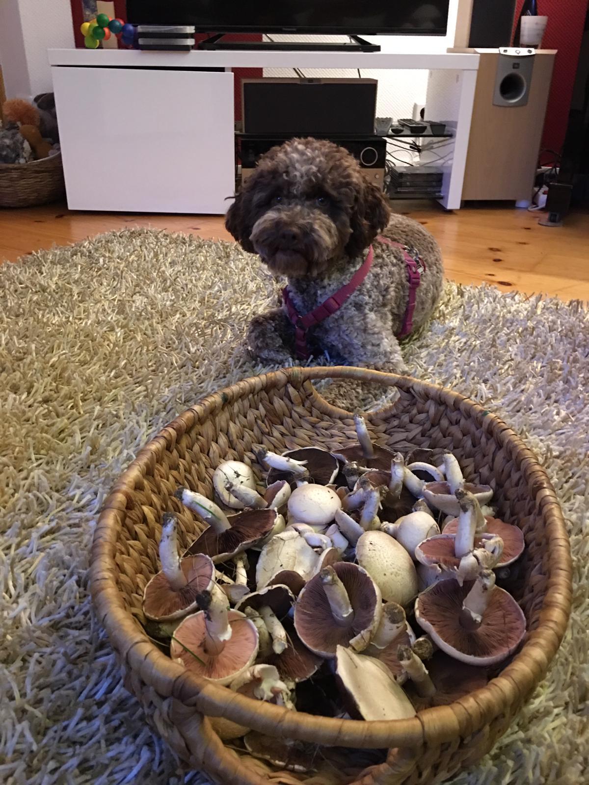 Champignon Suchhund Paula