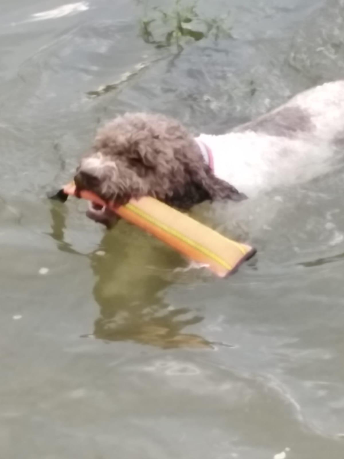 Wasserhund Dorle