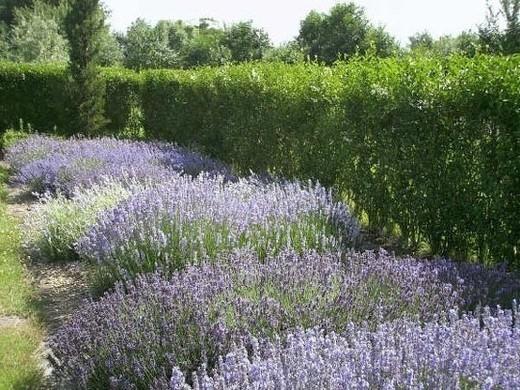 Limburg Lavendel - Stokrooie
