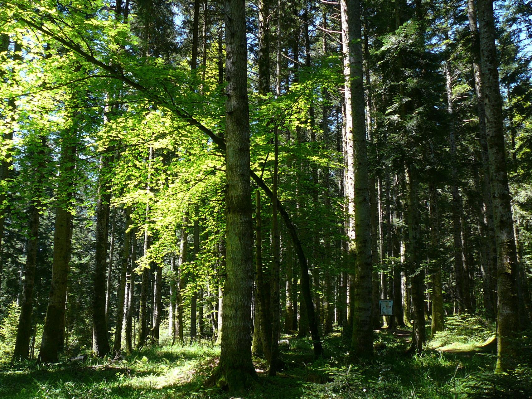 sentier sylvicole de la forêt de Callong