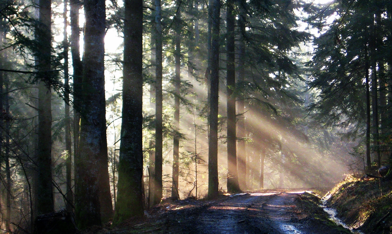 Route des Sapins - Forêt de Callong