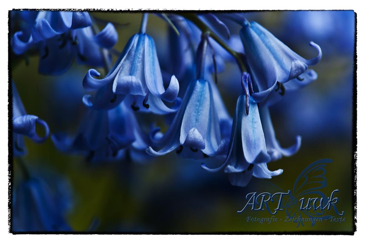 blaue Glöckchen