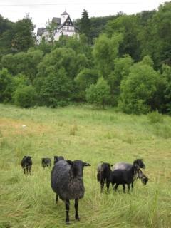 Gotlandschafe auf der Weide