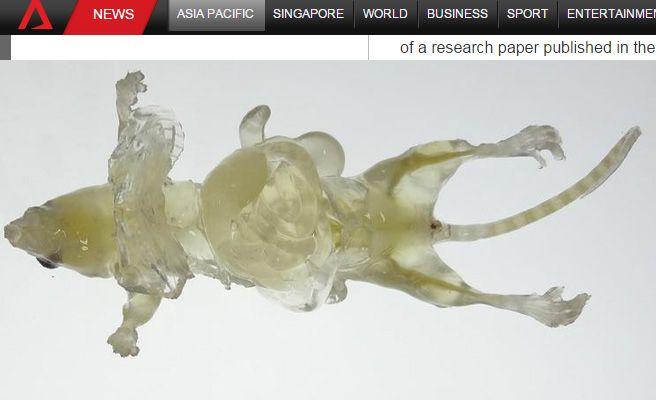 científicos crean un ratón transparente