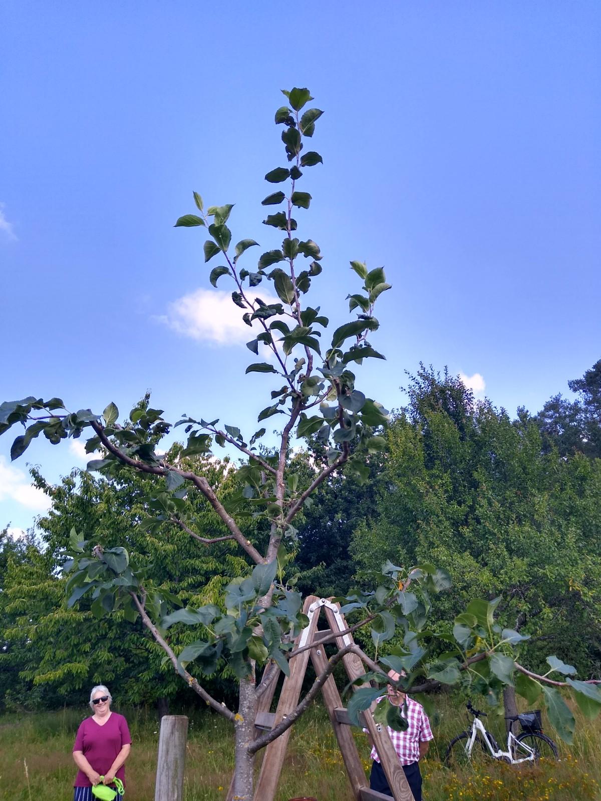 Apfelbaum nach den Schnitt.