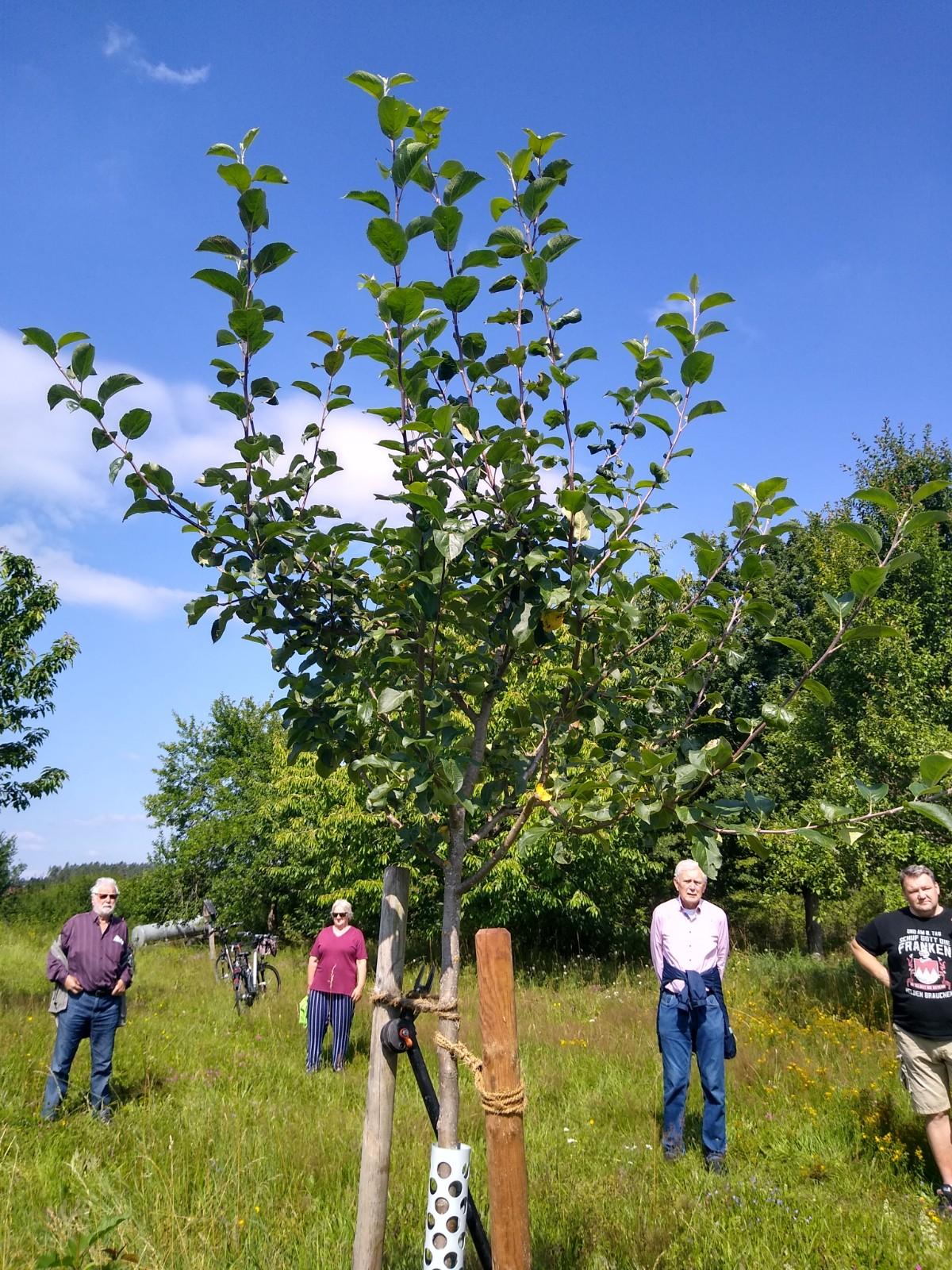 Hier sieht man den auserwählten jungen Apfelbaum vor dem Schnitt