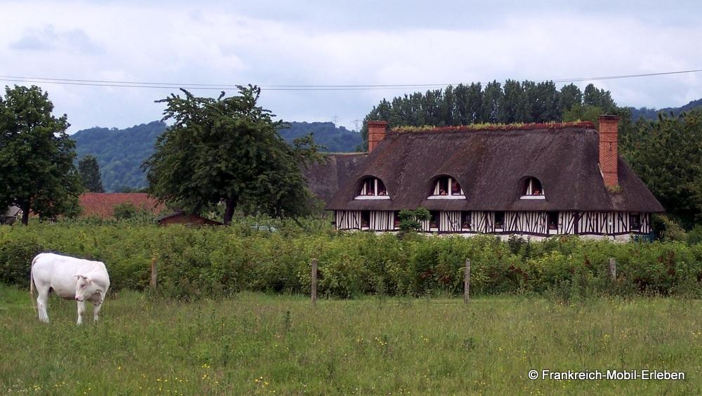 Eine Kuh steht auf der Weide, im Hintergrund ein typisch normannisches Fachwerkhaus.