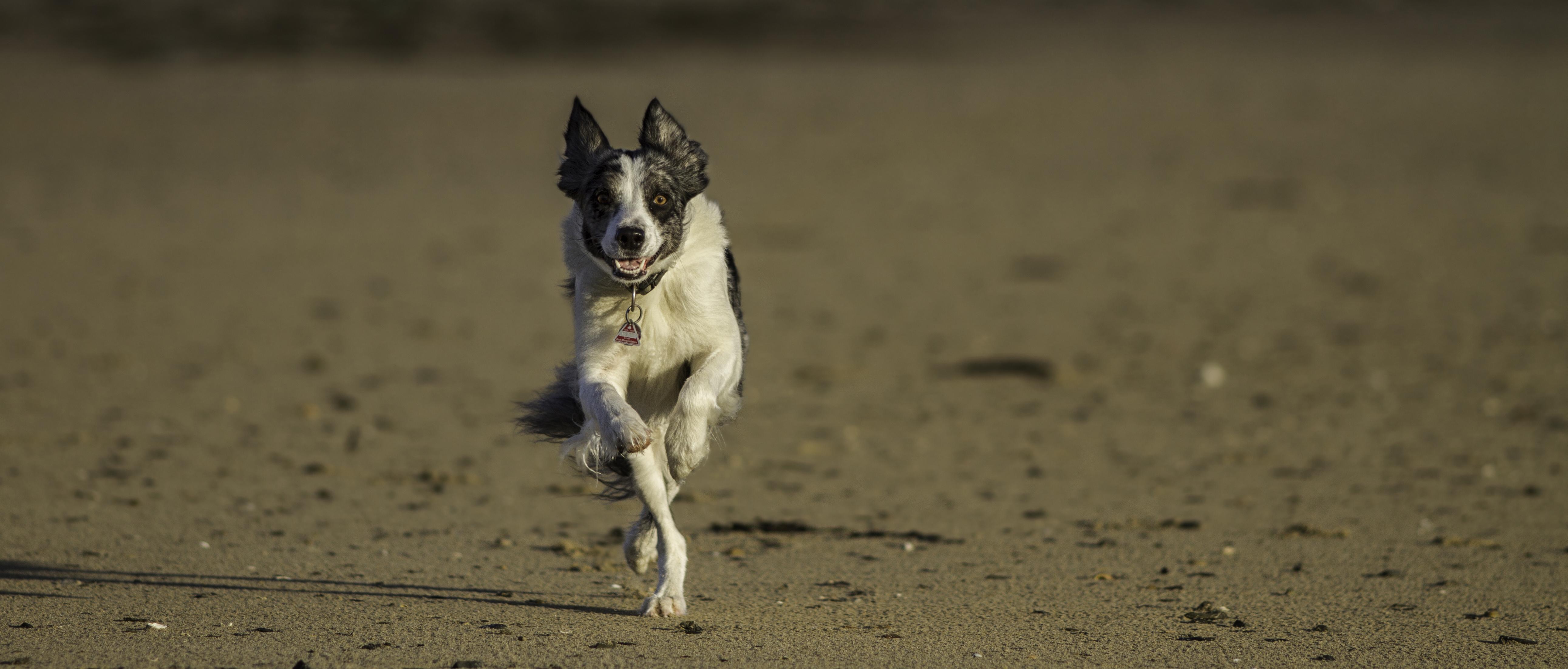 Hund am Strand in der Normandie