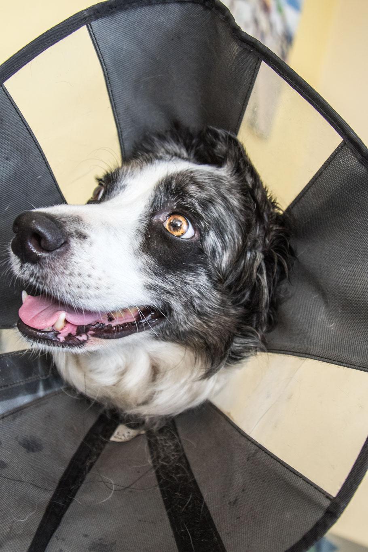 Ein Hund trägt einen Kragen vom Tierarzt in der Normandie