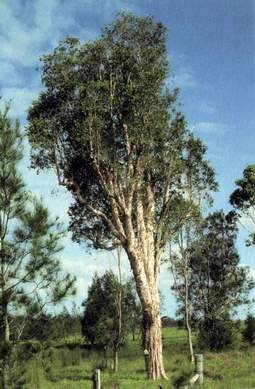 Der Teebaum kann vier bis sieben Meter hoch und bis zu vier Meter breit werden. Lange vor den Europäern entdeckten schon die Aborigines die Heilkräfte des Teebaumes.