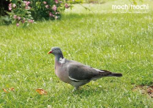イケメンと称されるモリハト氏。 土鳩よりも若干大きめ。
