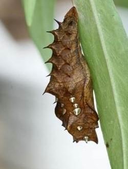 金色の三角の突起を持つ蛹